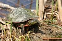 Painted Turtle Standing in a Marsh