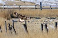 Hawk on a Fence Post