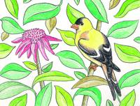 AmericanGoldfinch_CFKittredge7
