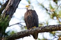 Bald Eagle on Hilton Head Island