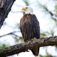 Bald Eagle on Hilton Head Island by Jim Crotty