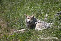 Mexican Wolf 2012-07-06_06