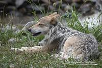 Mexican Wolf 20120714_114a