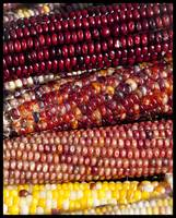Applefest corns