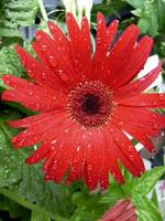Great Gerbera !
