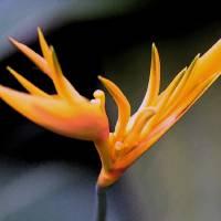 1 Hawaii Garden Bloom 31 WCOP Crop by J DeVereS