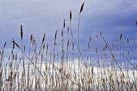 Beach Grass I (bowen)
