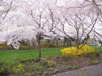 Cherry Trees and Forsythia