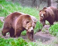 Grizzly Bear Brothers