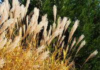 Feathering Grass
