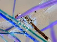 Dragon Fly Inverted