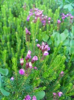 Wildflower Alpine Heather