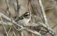 Golden-crowed Kinglet