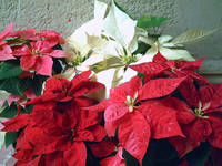 Mixed color Poinsettias 3