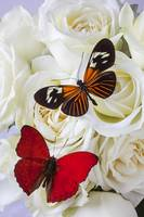 Two butterflies on white roses