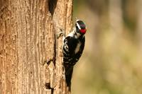 Downy Woodpecker on the Trunk of a Tree