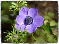 Purple Anemone by Giorgetta Bell McRee