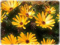 Yellow Daisies in the Sun by Giorgetta Bell McRee