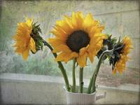 Sunflower Trio by Giorgetta Bell McRee