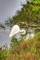American Egret (IMG_3210) by Jeff VanDyke