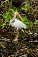 White Ibis (IMG_3229) by Jeff VanDyke