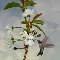 Hummingbird and Apple Blossom by I.M. Spadecaller