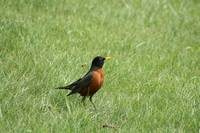 American Robin in a Field of Grass