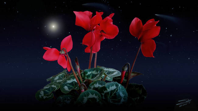 Holy Night Cyclamen
