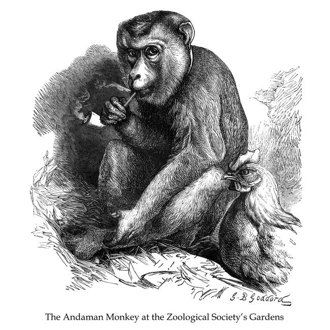 The Andaman Monkey