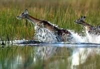 Red Lechwe in water