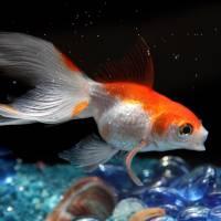 Goldfish by Roger Dullinger
