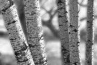 Colorado White Birch Trees in Black and White