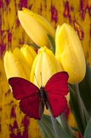 Red butterfly resting on tulips