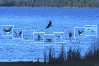 Eagle catching a Coot 2