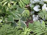 Hostas & Ferns 3