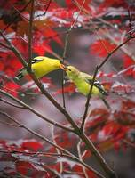 Goldfinches 1
