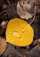 Aspen Leaf Isolation by David Kocherhans