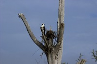 Osprey (IMG_0108) by Jeff VanDyke