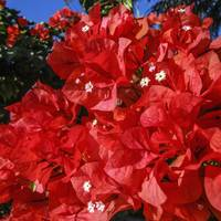 Bougainvillea Flowers Florida Dec 2012
