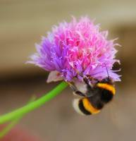The Pink flower meets the bumblebee!