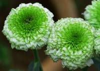 green mum flowers
