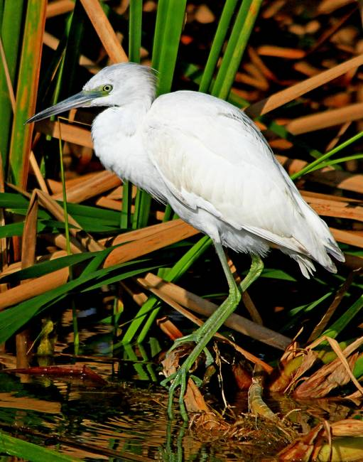 Little Blue Heron_18391