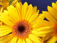 Yellow Gerbera Daisy Cheerful