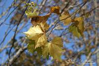 Sycamore Leaves 20121020_28a