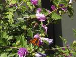 Monarch Butterfly on Rose of Sharon Posters
