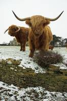 Highland Cattle Duo
