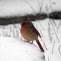 Female Cardinal in Snow #2 by Karen Adams
