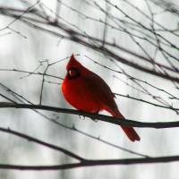 Cardinal on Winter Branch by Karen Adams