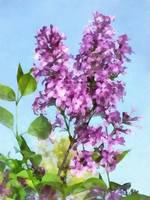 Lilacs Against The Sky