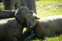 Love Ewe Sheep